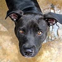 Adopt A Pet :: Midnight - Memphis, TN