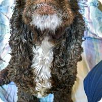 Adopt A Pet :: Poppy - Seattle, WA