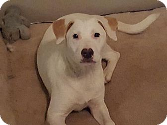 Labrador Retriever Mix Puppy for adoption in Providence, Rhode Island - Sister LB CP