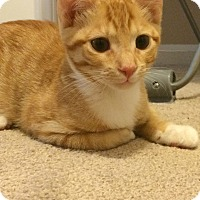 Adopt A Pet :: Jupiter - Apex, NC