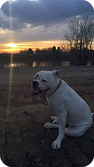 American Bulldog Dog for adoption in Sacramento, California - Mazey