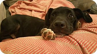 Retriever (Unknown Type) Mix Puppy for adoption in Nashville, Tennessee - Barrow