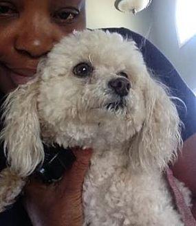 Maltese/Yorkie, Yorkshire Terrier Mix Dog for adoption in Atlanta, Georgia - Cream