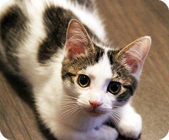 Domestic Shorthair Kitten for adoption in Toronto, Ontario - Kimi