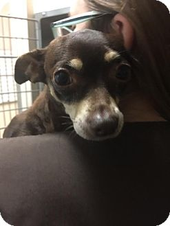 Chihuahua Mix Dog for adoption in Westminster, California - Figgie