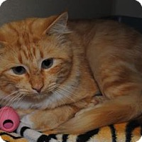 Domestic Shorthair Cat for adoption in Ridgeland, South Carolina - Creamsickle