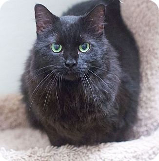 Domestic Longhair Cat for adoption in Northbridge, Massachusetts - Belle