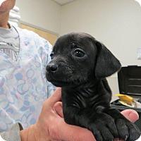 Adopt A Pet :: Waco - Murphysboro, IL