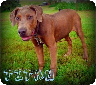 doberman bulldog mix titan adopted puppy watertown sd doberman pinscher