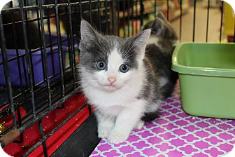 Maine Coon Kitten for adoption in Santa Monica, California - Connor