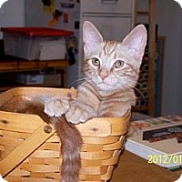 Domestic Shorthair Cat for adoption in Corydon, Indiana - Louie