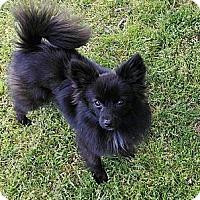 Adopt A Pet :: *Bobby McGee - PENDING - Westport, CT