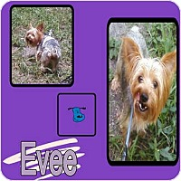 Adopt A Pet :: EVEE - Hollywood, FL