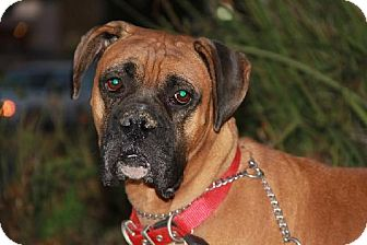 Boxer Dog for adoption in Fremont, California - GORDON