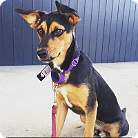 Adopt A Pet :: Pennie - Austin, TX