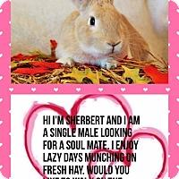 Adopt A Pet :: Sherbert - Hillside, NJ