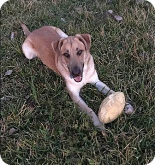 Shepherd (Unknown Type)/Labrador Retriever Mix Dog for adoption in Houston, Texas - Max
