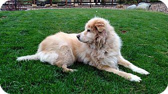 Labrador Retriever Mix Dog for adoption in Evergreen, Colorado - Vee