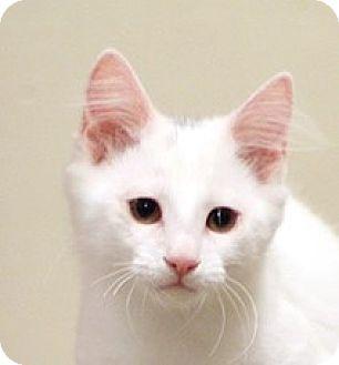 Domestic Mediumhair Kitten for adoption in San Diego, California - Kenny