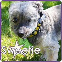 Adopt A Pet :: Sweetie II - Excelsior, MN