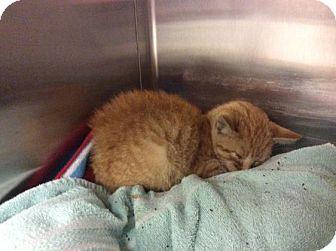Domestic Shorthair Kitten for adoption in Janesville, Wisconsin - Sunset