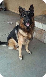 German Shepherd Dog Mix Dog for adoption in LAKEWOOD, California - Trubo
