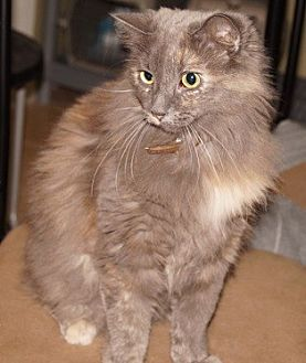 Domestic Longhair Cat for adoption in Alhambra, California - Glamour