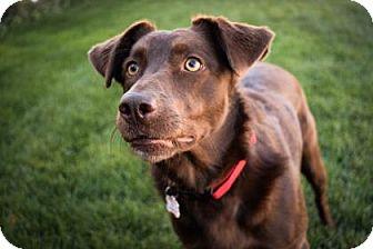 Labrador Retriever Mix Dog for adoption in Wichita, Kansas - Hazel