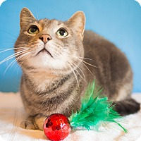 Domestic Shorthair Cat for adoption in Houston, Texas - Ben