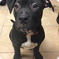 Adopt A Pet :: Tyson - Belleville, MI