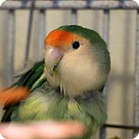 Lovebird for adoption in Elizabeth, Colorado - Aster