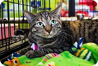 Domestic Shorthair Cat for adoption in Mooresville, North Carolina - A..  Raelyn