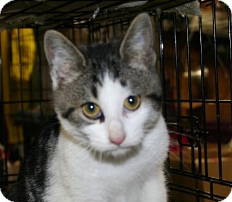 American Shorthair Cat for adoption in Foster, Rhode Island - Elfie