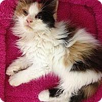 Adopt A Pet :: Blossom - Miami, FL