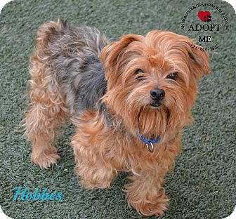westmoreland terrier youngwood pa silky terrier mix meet hobbes a dog for 1485