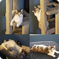 Adopt A Pet :: AMBER FIV+ CALICO POLYDACTYL - Rochester, NY