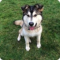 Adopt A Pet :: MISHKA - Seattle, WA