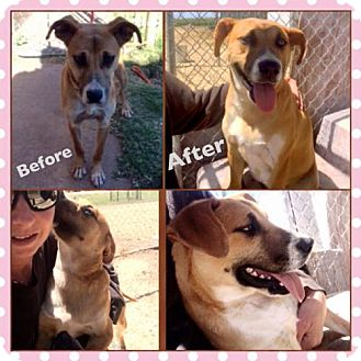 Corgi/Anatolian Shepherd Mix Puppy for adoption in Garber, Oklahoma - Jersey