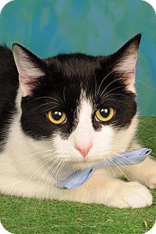Domestic Shorthair Kitten for adoption in mishawaka, Indiana - Tux