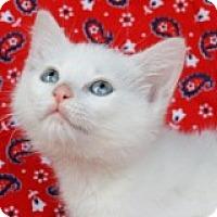 Adopt A Pet :: Marshmallow - Little Rock, AR