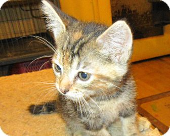 Domestic Shorthair Kitten for adoption in Palm Springs, California - Olivia