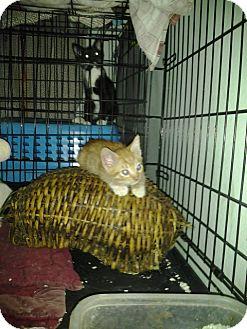 Domestic Shorthair Kitten for adoption in Sherman Oaks, California - COURTESY LISTING