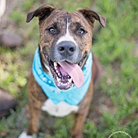 Mastiff Mix Puppy for adoption in Houston, Texas - Walter