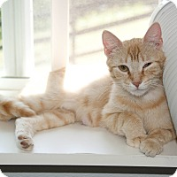 Domestic Shorthair Cat for adoption in Waynesville, North Carolina - Lillie