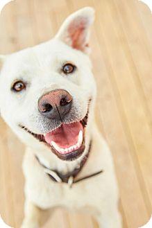 Jindo/Terrier (Unknown Type, Medium) Mix Dog for adoption in Fairfax, Virginia - Louie