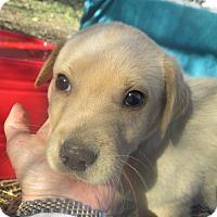 Adopt A Pet :: Golden Christmas boy - Godley, TX