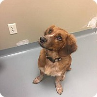 Adopt A Pet :: Goldie - St. Charles, MO
