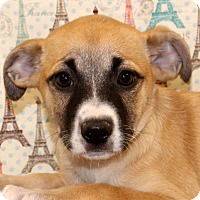 Beagle/Shepherd (Unknown Type) Mix Puppy for adoption in Glastonbury, Connecticut - Kiwi~ adopted!