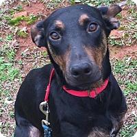 Adopt A Pet :: Leia - CUMMING, GA