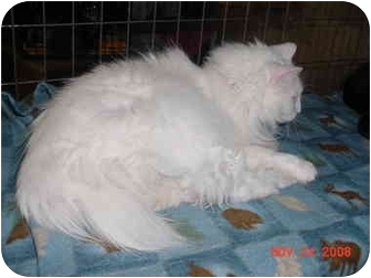 Domestic Longhair Cat for adoption in Pendleton, Oregon - Snow White